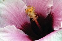 hibiscus_200[1]