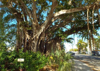 Banyan Tree at Gilchrest Park, Punta Gorda FL