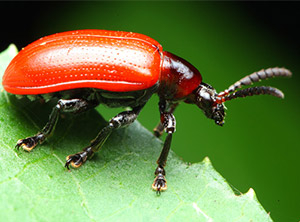 air-potato-leaf-beetle